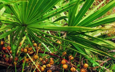 Study once again proves prostrate benefit of saw palmetto