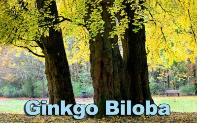 Ginkgo biloba—the oldest tree on earth may also be the oldest medicine