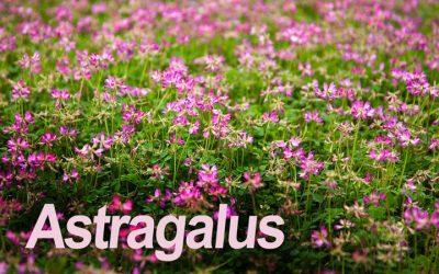 Astragalus 'balances immune response' in study on pro athletes